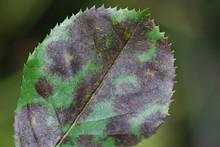Sternrußtau (Diplocarpon Rosae)