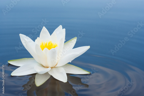 Garden Poster Lotus flower white lilly on lake