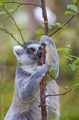 Fényképezés  Lemur