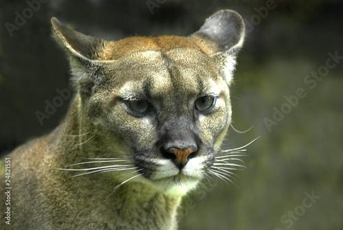 Poster Puma Puma (Puma concolor)