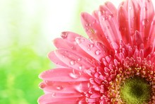 Fresh Pink Daisy With Water Drops