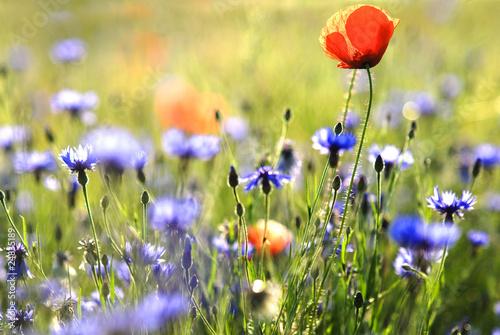 Poster Fleur fleurs des champs