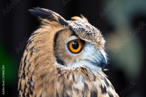 Obraz na plátne  owl profile