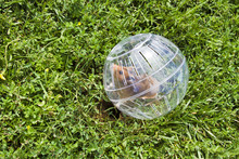 Rodent In A Hamster Ball Wanti...