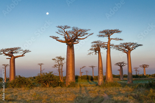 In de dag Afrika Field of Baobabs