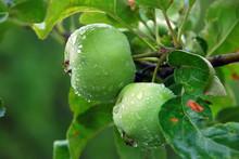 Unripe Apple On Tree After Rain