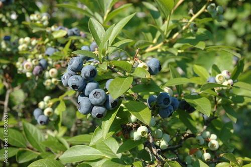 Billede på lærred american blueberry