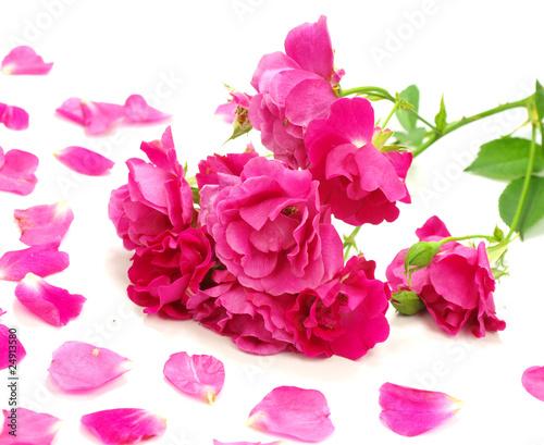 Foto op Canvas Hydrangea Rose