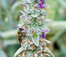 Honeybee In A Flowering Lambs Ear Plant