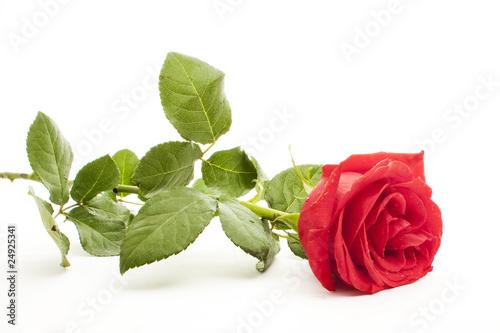 red rose © Slaweek