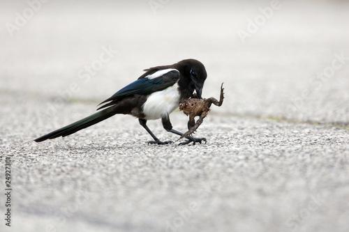 Valokuva  pie oiseau carnivore grenouille animaux écraser manger nourrir