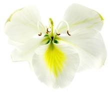 Fleur Blanche De Bauhinia, L'arbre-orchidée, Fond Blanc