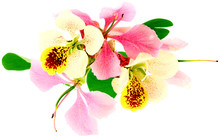 Fleurs De Bauhinia, L'arbre-orchidée, Fond Blanc