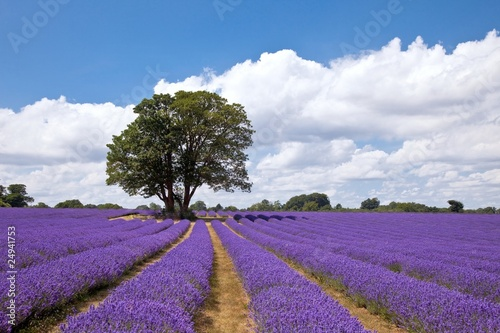 Poster Snoeien Beautiful lavender field in the summer