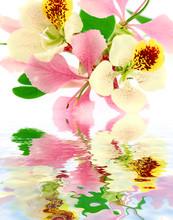 Fleurs De Bauhinia, L'arbre Orchidée, Fond Blanc