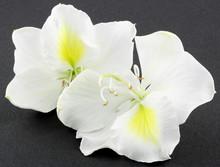 Fleurs Blanches De Bauhinia, L'arbre Orchidée, Fond Noir