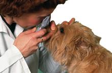 Examen Au Microscope Des Yeux D'un Chien Cairn Terrier