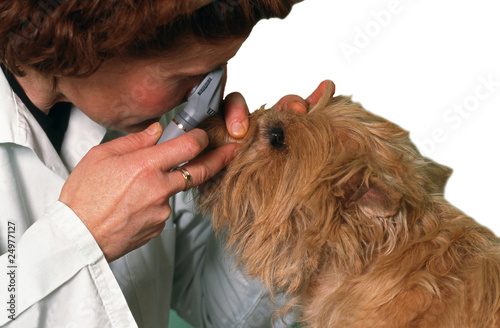 Fotografía  examen au microscope des yeux d'un chien cairn terrier