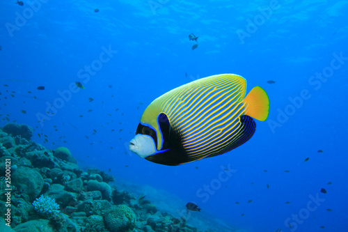Poster Coral reefs Emperor Angelfish (Pomacanthus imperator)