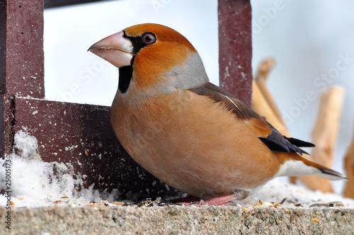 Fototapeta hawfinch
