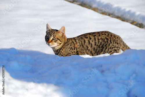 Gatto Nella Neve Buy This Stock Photo And Explore Similar Images