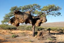 Sociable Weaver Nest In An Afr...
