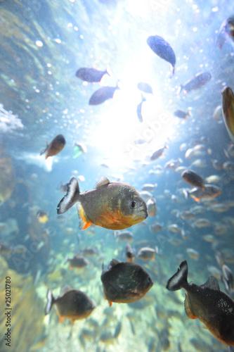 piranha in their habitat Canvas-taulu