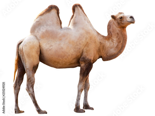 Photo sur Aluminium Chameau camel