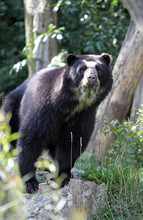 Spectacled Bear Or Tremarctos ...