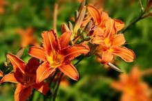 Hemerocallis_lily