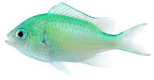 Green Chromis (Chromis Viridis)
