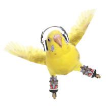Budgerigar Rollerskater In Headphones