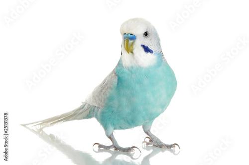 Blue Budgerigar on a white background Fototapeta