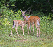 Summer Doe And Fawn