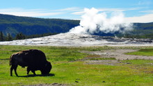 Bison In Front Of A Steaming Old Faithful