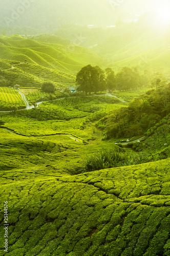Dekoracja na wymiar zamglona-plantacje-herbaty