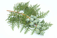 Branch Of A Thuja