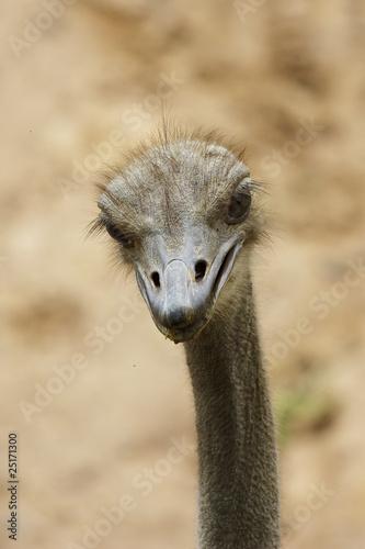 Staande foto Struisvogel The head of an ostrich with blur background