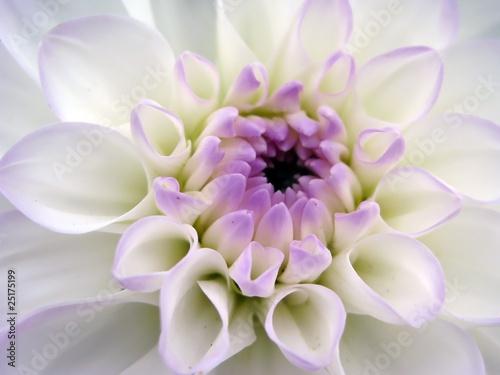 Fotografia Closeup of white dahlia