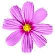 canvas print picture - Pink Cosmea Rose. Beautiful Cosmos Flower isolated