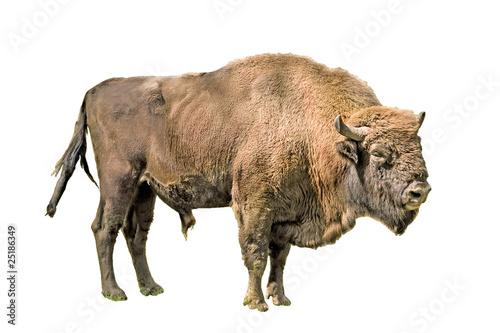 Fotobehang Bison The European bison on a white background