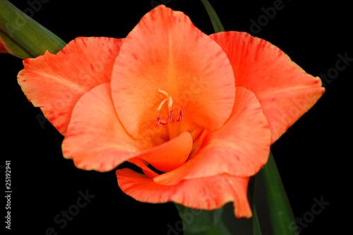 Isolierte rot-orangene Lilie auf schwarzem Hintergrund<br>@ p(AS)ob