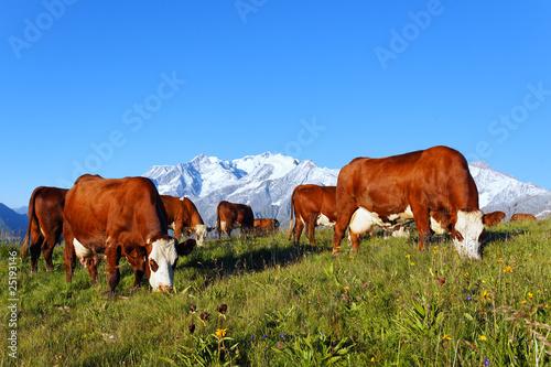 Poster de jardin Vache vaches d'altitude