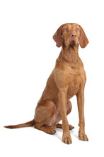 Hungarian Wire Haired Vizsla Isolated On A White Background