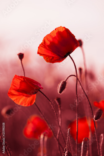 Red Poppies in Meadow плакат