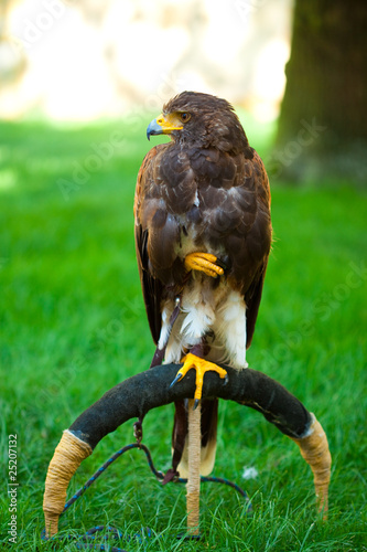 Photo  eagle on a background of green grass