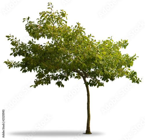 arbre et feuillage vert isolé sur fond blanc - jeune chêne