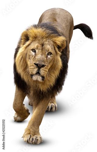 Staande foto Leeuw Asian lion, Pantera leo persica