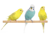Blue And Two Yellow Budgerigar...