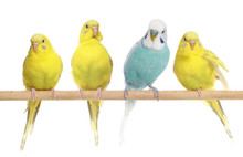 Blue And Three Yellow Budgerig...